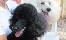 cropped-poodles.jpg